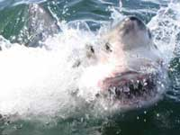 Fishing Boat Survives Attack by Great White off South Africa